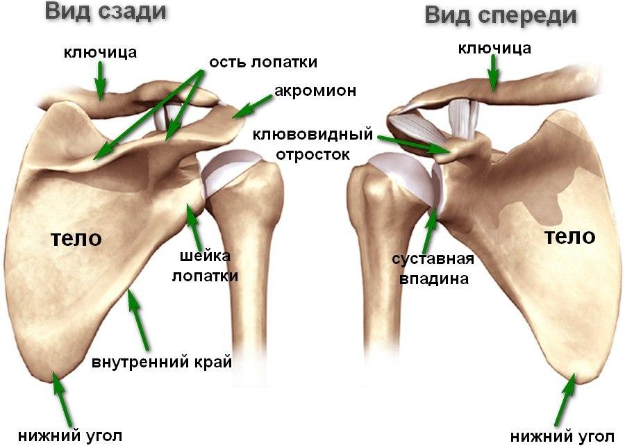 Анатомическое стоение лопатки