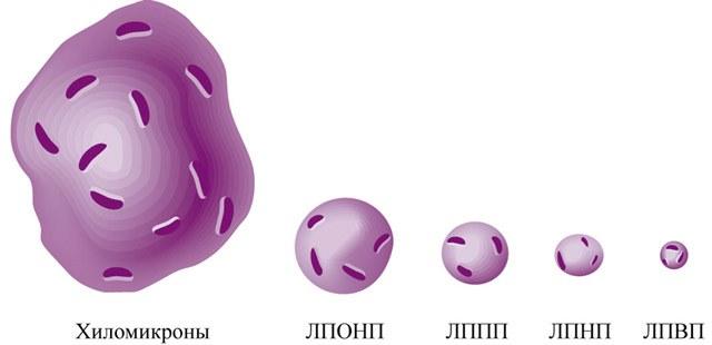 Липопротеиды крови
