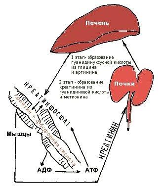 Креатин в биохимическом анализе крови