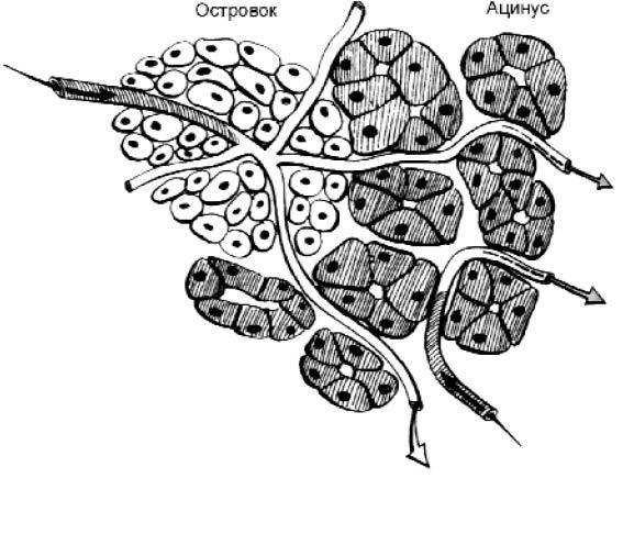 Экзокринная часть поджелудочной железы (гистологическое строение)
